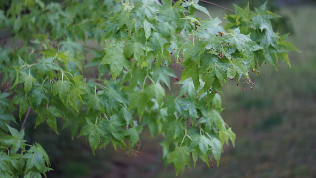 Another view of the tree leaves, taken at f/3.5.